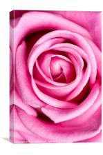 Pink Rose Close Up, Canvas Print