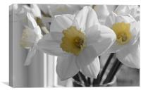 Daffodils in the gray, Canvas Print
