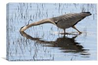 Grey Heron Hunting, Canvas Print