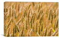Golden Ears of Ripening Wheat, Canvas Print