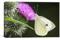 White Butterfly Feeding, Canvas Print