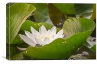 White Water Lily, Canvas Print