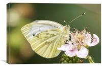 Green veined white butterfly on bramble, Canvas Print