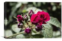 The one and only rose, Canvas Print