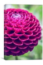 Dahlia in red, Canvas Print