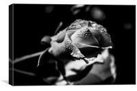Morning Rose, Canvas Print