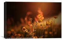 Buttercups In Sunset Ranunculus acris, Canvas Print