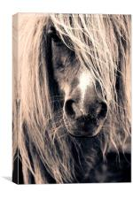 Shetland Pony Portrait, Canvas Print