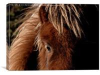 A Tan Shetland Pony Called Mootie, Canvas Print