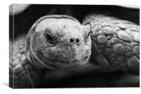 Tortoise, Canvas Print
