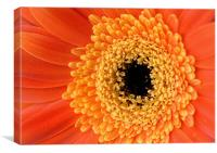 Orange Gerbera Flower, Canvas Print