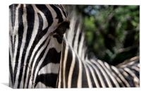 Focus of a Zebras Attention, Canvas Print