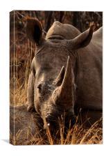 White  Rhino in the Grass, Canvas Print
