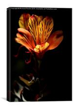 Indian Summer Lily, Canvas Print