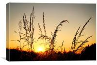 Grass at Sunset, Canvas Print