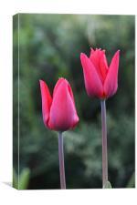 Church Garden Tulips, Canvas Print