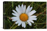 Daisy daisy, Canvas Print