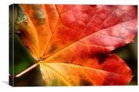 Autumn coloured leaf, Canvas Print