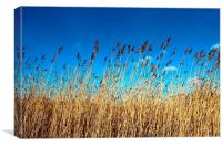 Reed bed sky view, Canvas Print