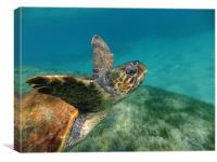 Turtle swimming, Canvas Print
