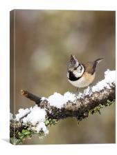 Crested tit in Snow, Canvas Print