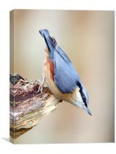 The Nutcracker Nuthatch, Canvas Print