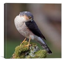Posing Sparrowhawk, Canvas Print