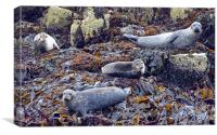 Scottish Seals, Canvas Print