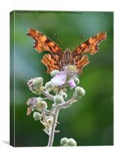 Comma butterfly on bramble, Canvas Print