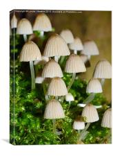 Fairy Mushrooms, Canvas Print