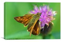 Skipper butterfly, Canvas Print