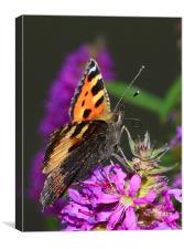 Tortoiseshell Butterfly, Canvas Print
