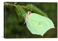 Brimstone Butterfly, Canvas Print