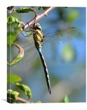 Common Hawker Dragonfly, Canvas Print