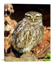 Little Owl basking in the sun, Canvas Print