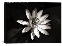 Water Lily , Canvas Print
