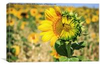 Beautiful landscape with sunflower field in summer, Canvas Print
