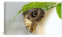 Owl butterfly, Canvas Print