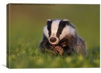 Badger walking on grass, Canvas Print