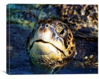 Hawaiian Green Sea Turtle, Canvas Print