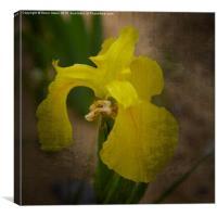 Yellow Marsh Iris, Canvas Print