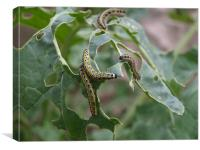 Caterpillar Feeding, Canvas Print