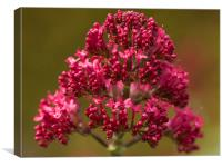 Red valerian, Canvas Print