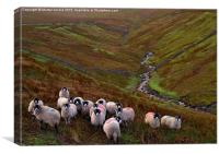 Dales Sheep on Harthope Moor Upper Teesdale, Canvas Print