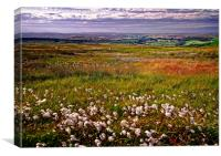 Cotton Grass on the Yorkshire Moors, Canvas Print