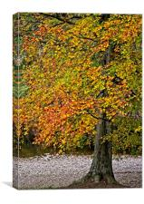 Autumn Beech Tree, Canvas Print