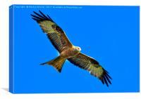 Red Kite (Milvus Milvus), Canvas Print