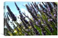 Norfolk Lavender, Canvas Print