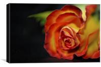Rose on black satin, Canvas Print