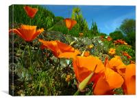 California Poppies, Canvas Print